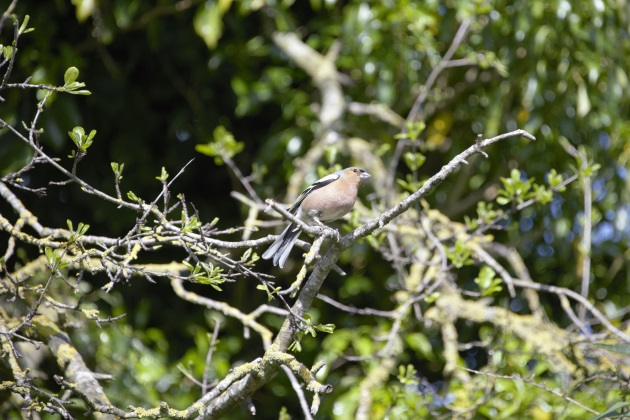 Chaffinch on Coldborough Hill