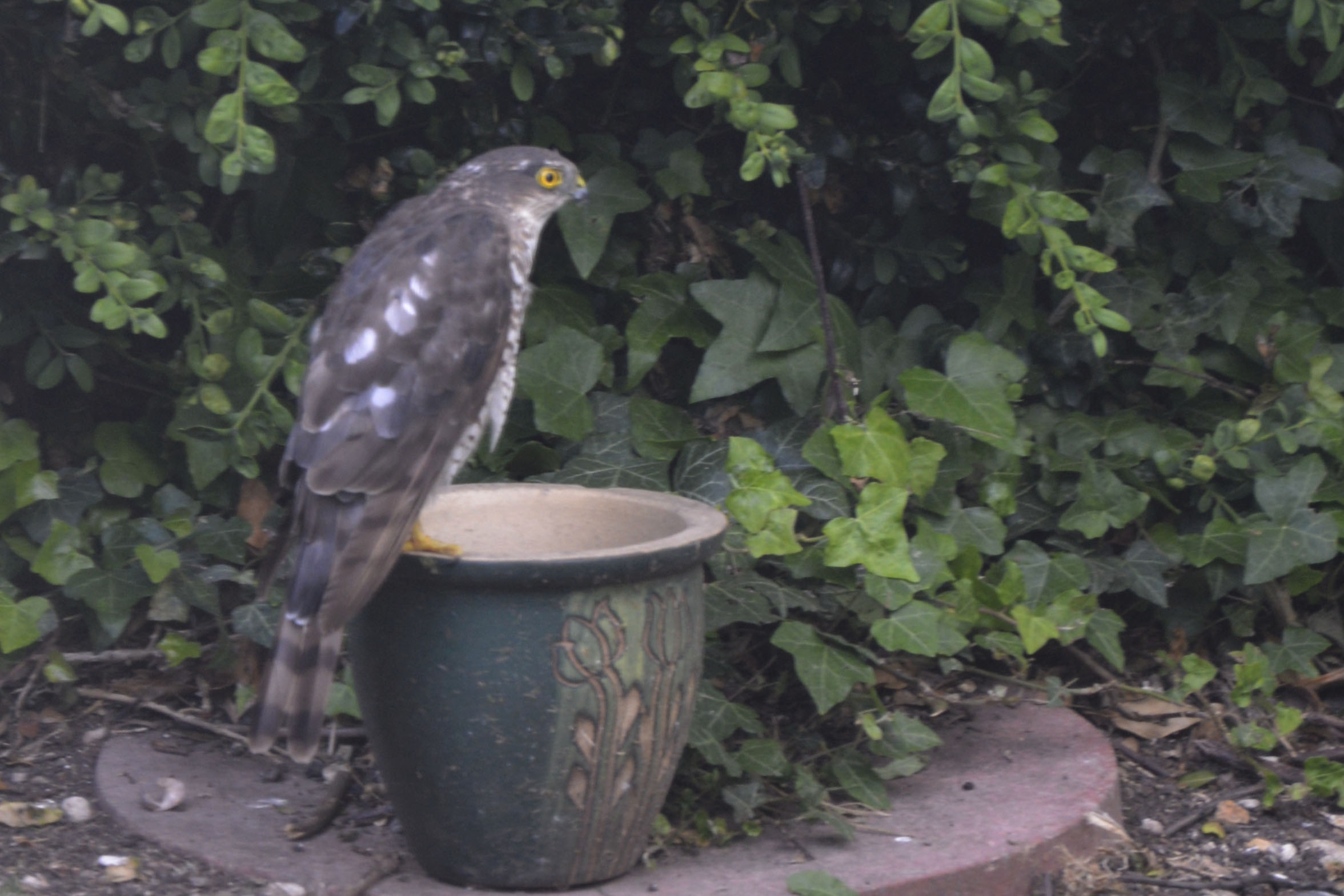 Sparrowhawk in the Centre of the Village